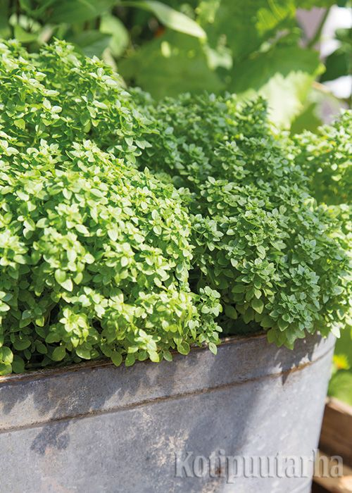 Basilika 'Pistou'-maustebasilikan (Ocimum basilicum) sopii ruukkuun, sillä sen kasvutapa on pörhäkän tiivis. Ohuet, pienet ja voimakkaanmakuiset lehdet ovat parhaimmillaan tuorekäytössä. http://www.kotipuutarha.fi/puutarhavinkit/kasvata-herkkuja/yrttien-kasvatus.html