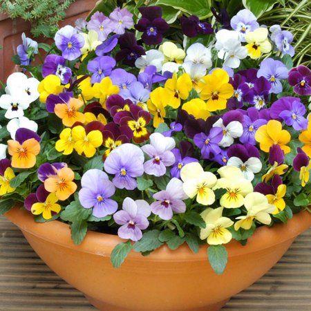 1pt Viola Container Gardening Flowers Viola Flower Planting Flowers