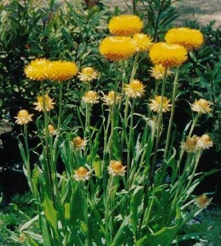 Xerochrysum Diane Everlasting --- For more Australian native plants visit austraflora.com