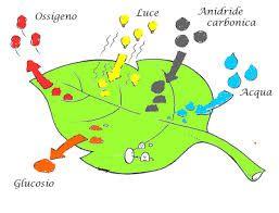 Risultati immagini per fotosintesi clorofilliana scuola primaria
