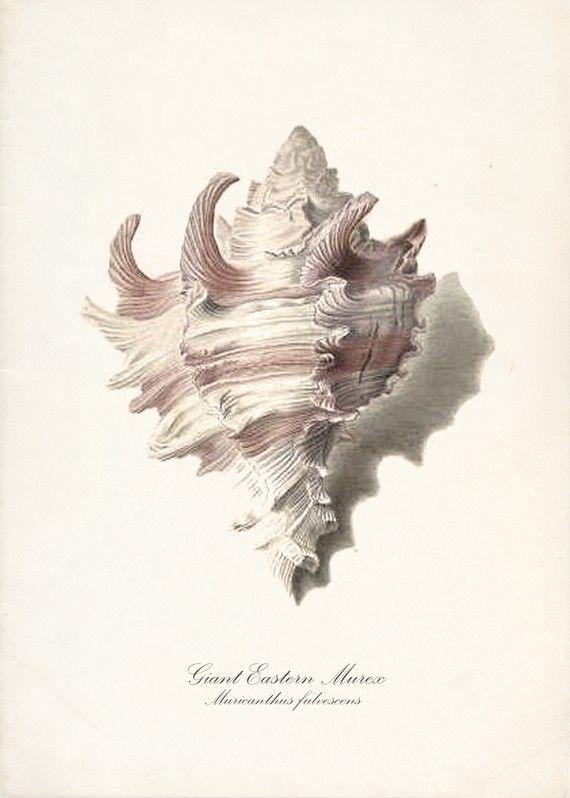 Vintage Sea Shell Print - Giant Eastern Murex 5x7