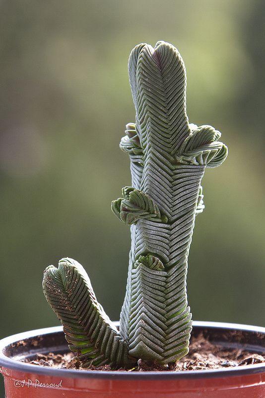 Plante grasse : Crassula pyramidalis