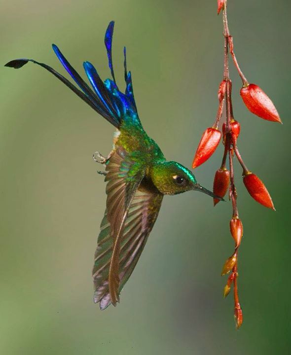 Long-tailed Sylph Hummingbird by John Williams
