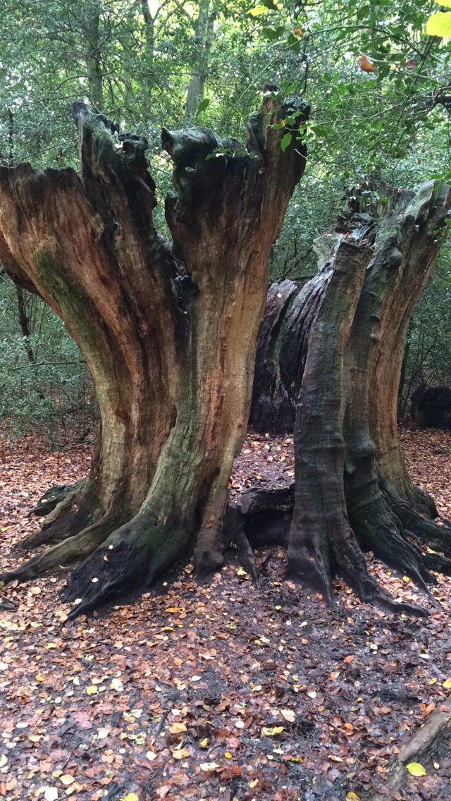 Old Tree amongst the woodland