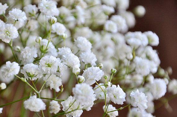 Heirloom 1200 Seeds Gypsophila white Baby's Babys Breath Bulk Seeds Garden Flowers S065, $1.79