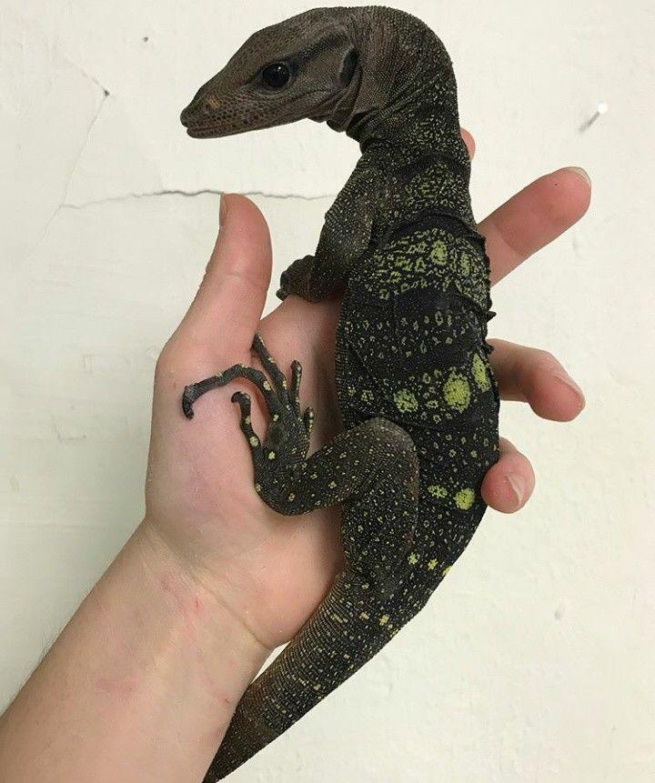 Just A Straight Up Baby Dragon Cute Reptiles Cute Lizard Reptiles Pet