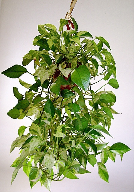 i have been wanting to get some house plants im not much for flowers i like living plants - House Plants Vines