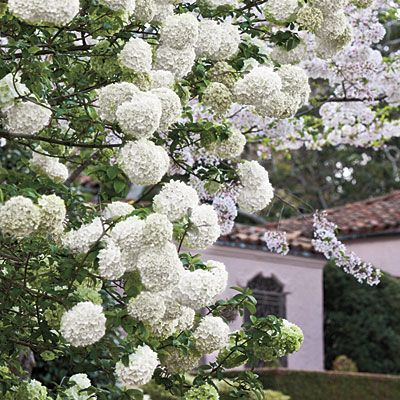 7. Grow Blooming ShrubsChinese snowball is one of spring's showiest shrubs. White flower clusters 6 to 8 inches across festoon its branches in late spring. The plant gets big—12 to 20 feet tall and wide. Though it looks like a hydrangea, it's actually a viburnum.