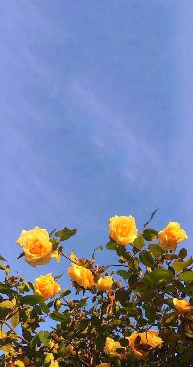 Yellow Summer Flowers Roses With Images Aesthetic Wallpapers