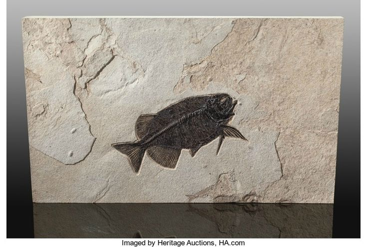 Lot: 72228. Fossil Fish, Phareodus sp., Eocence, Green River Formation, Wyoming, USA. Overall Measurements: 32.00 x 19.50 x 2.00 inches (81.28 x 49.53 x 5.08 cm).