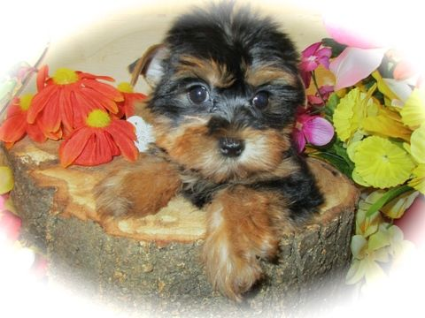 Yorkshire Terrier puppy for sale in HAMMOND, IN. ADN-27297 on PuppyFinder.com Gender: Female. Age: 9 Weeks Old