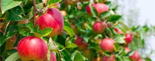 Elmalar nasıl saklanır? - Eylül, Ekim, Sonbahar, Meyve Bahçesi, Meyve, Kiler, Elma, Ağaç Ve Çalı Bakımı