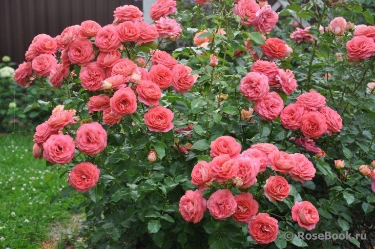 sommersonne kordes roses and the other roses pinterest sons. Black Bedroom Furniture Sets. Home Design Ideas