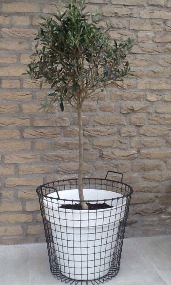 Laat de zomer maar komen! Olijfboompje in een draadstalen mand. #olijfboom #draadstalen #mand