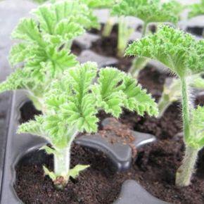 Les 25 meilleures id es de la cat gorie bouture geranium for Comment arroser les geraniums