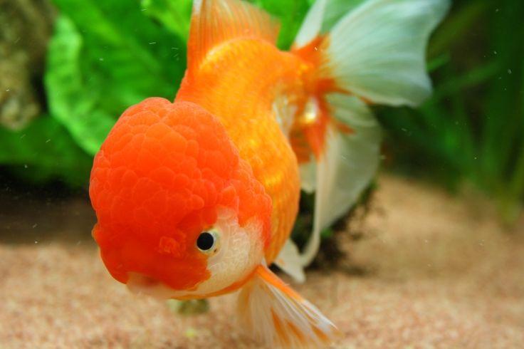 Uno dei maggiori desideri di tutti gli acquariofili è quello di veder sbocciare la vita all'interno del proprio acquario.Con questo articolo, voglio condividere con voi la mia esperienza nella riproduzione dei Pesci Rossi (Carassius auratus), nell...