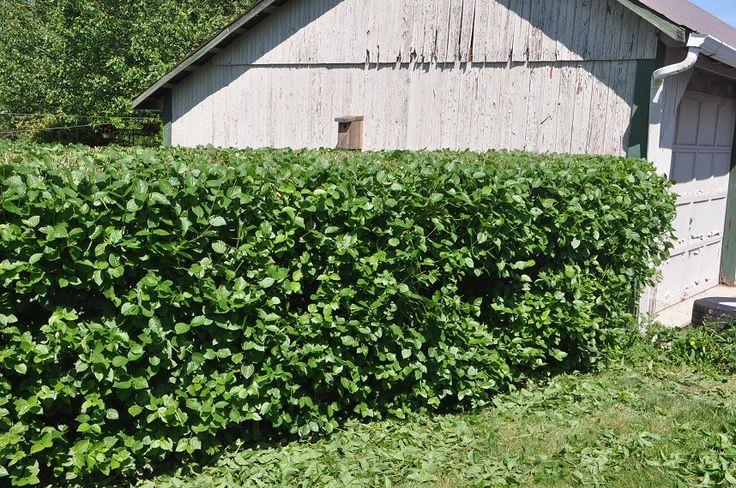 Viburnum hedge