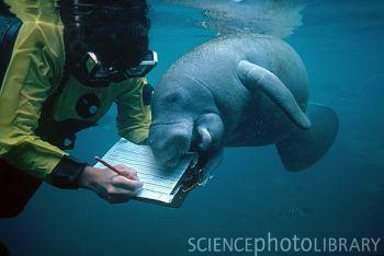 Marine biologist Barbara Bernier with manatee (Trichechus sp.); Homosassa Springs Wildlife State Park, Florida.