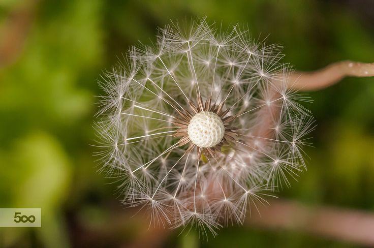 dandelion by Graziella Serra Art & Photo on 500px