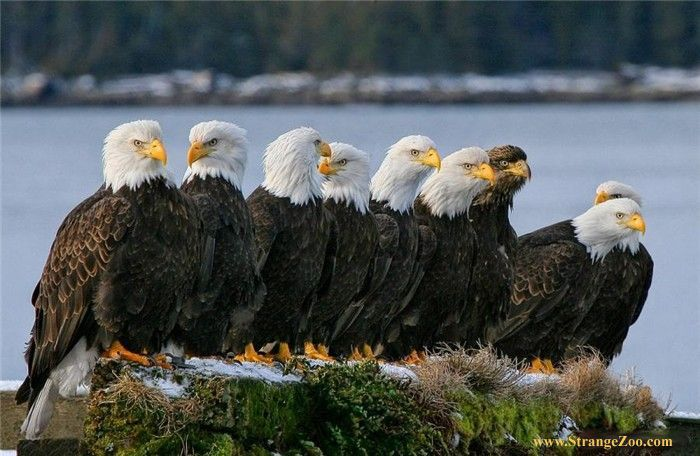 9 bald eagles