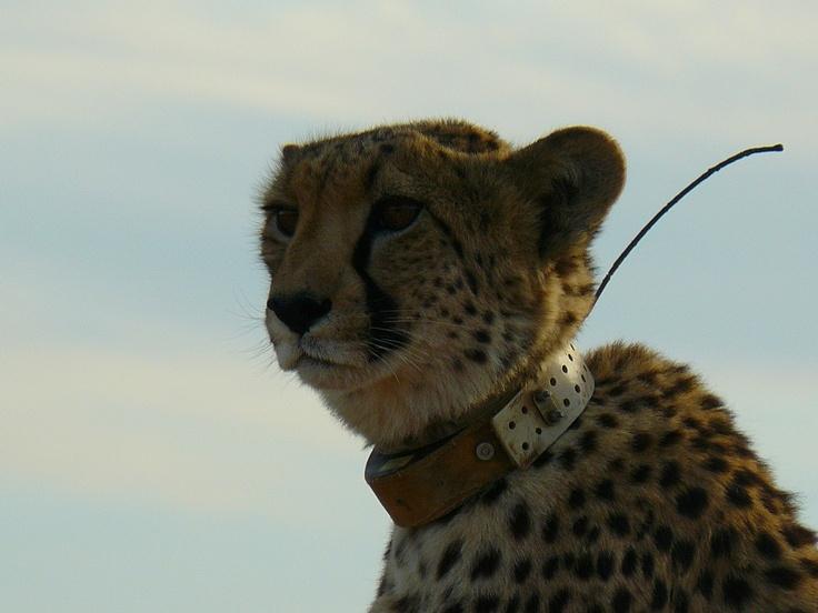 Inverdoorn  Cheeter South Africa
