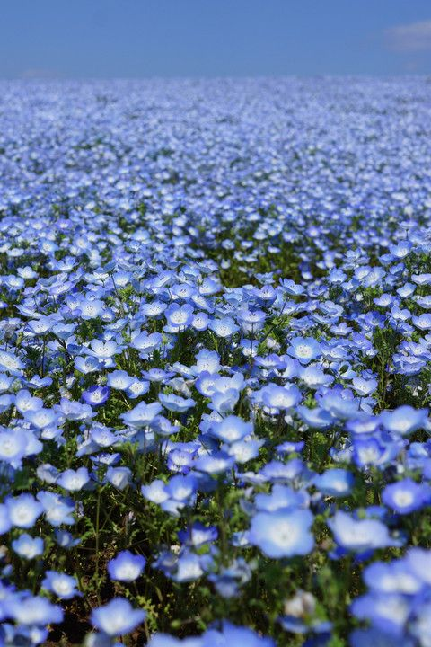 Blue Hill (Nemophila) Hitachi Seaside Park, Japan  ひたち海浜公園 #ネモフィラ