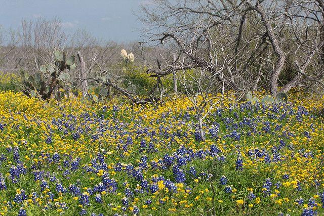 South Texas Wild Flowers