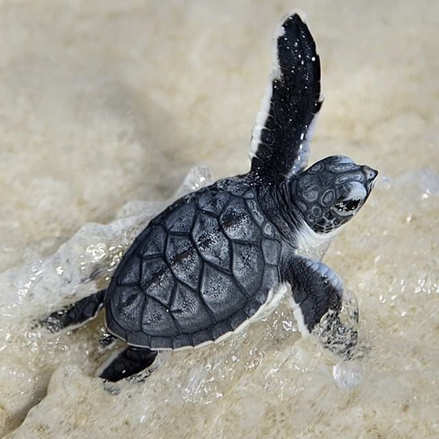 In summer, turtle hatchlings like this one start appearing in the Southern Great Barrier Reef of Queensland.