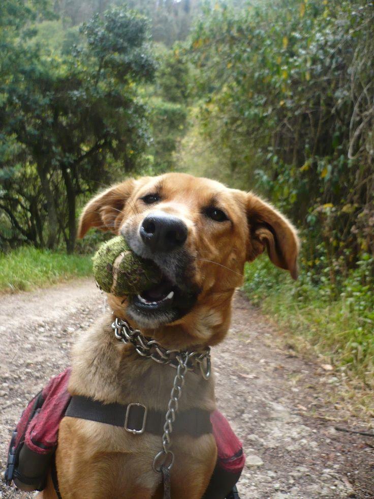 RONYA es nuestra futura Perra de Terapias. Hoy aprovechamos una caminata para hacer ejercicio y obediencia. Pero sobre todo, para EXPLORAR y JUGAR!!!