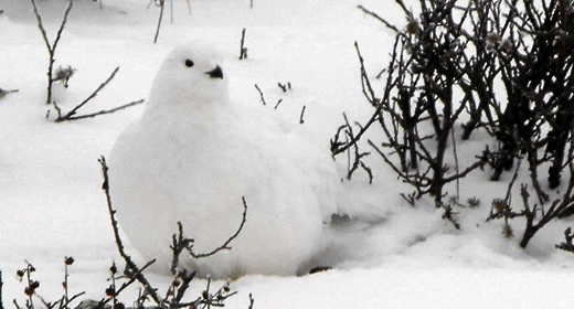 The Ptarmigan is barely visible against the snow covered landscape near Hudson Bay in Churchill, Manitoba, Canada.