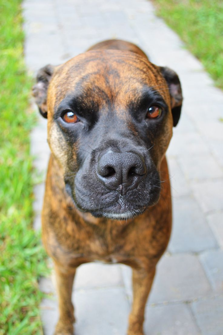 Benelli, a brindle boxer/pit bull mix | My photos ...