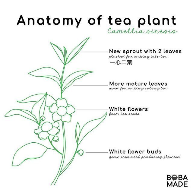 Did You Know All Tea White Green Oolong Black Puerh Come From This Plant Camellia Sinesis Tag Your Tea Infographic Boba Tea Bubble Tea Shop