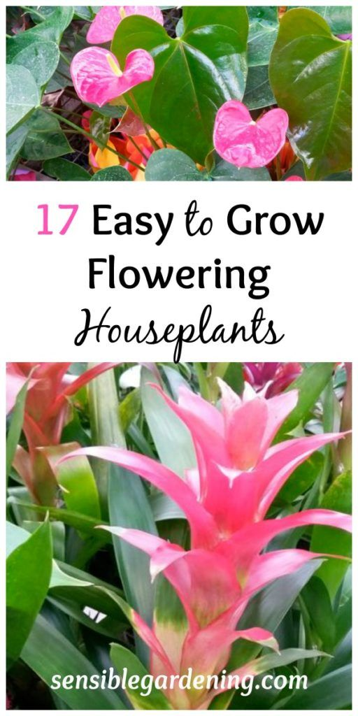 unbelievable house plant with green and pink leaves. 17 Easy Flowering Indoor Plants 126 best Forever Green images on Pinterest  Gardening Landscaping