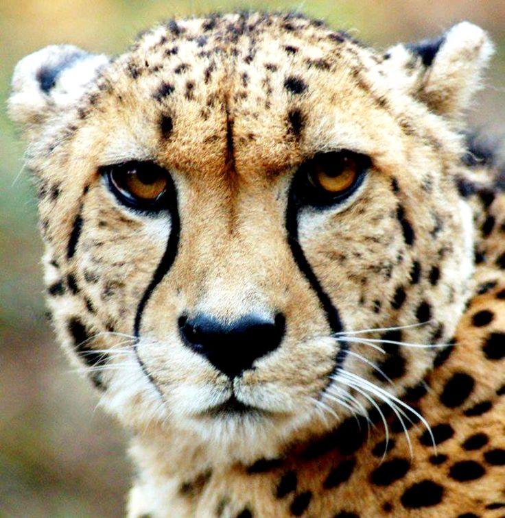 gepard   Big cats   Cheetah halloween costume, Cheetah ...