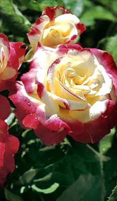 Easy to Grow Roses - Sean McCann, award-winning rose breeder, has narrowed down his favorites. Picture: Double Delight.