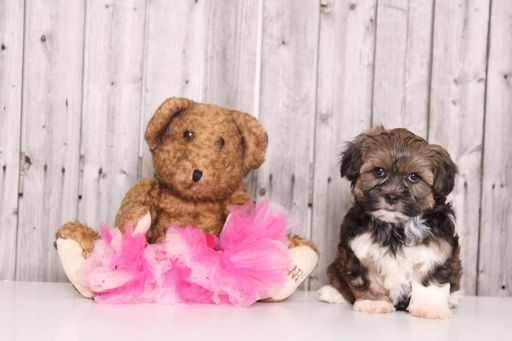 Shorkie Tzu puppy for sale in MOUNT VERNON, OH. ADN-27568 on PuppyFinder.com Gender: Female. Age: 9 Weeks Old