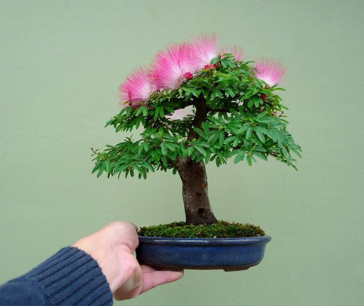 mini bonsai art bonsai pinterest trees minis and albizia julibrissin. Black Bedroom Furniture Sets. Home Design Ideas