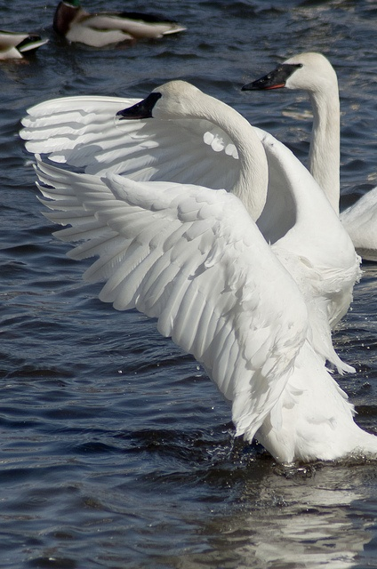 Trumpeter Swan  The largest known male Trumpeter attained a length of 183 cm (72 in), a wingspan of 3.1 m (10 ft) and a weight of 17.2 kg (38 lb).
