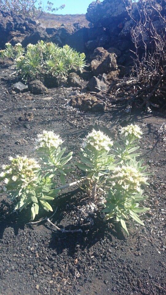 Vegetación volcan Teneguia. La Palma