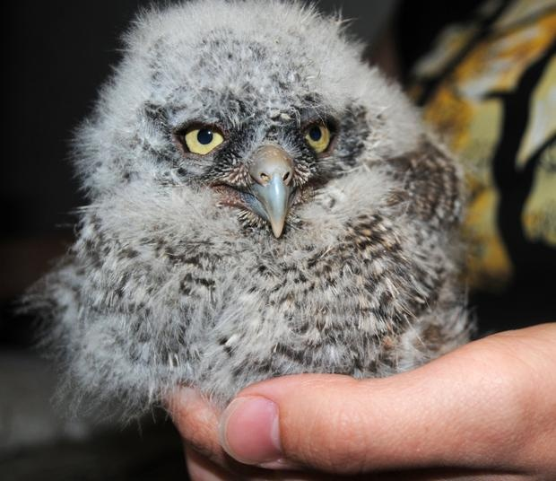 Tiny Predator: This Baby Great Horned Owl Is One Of Nine