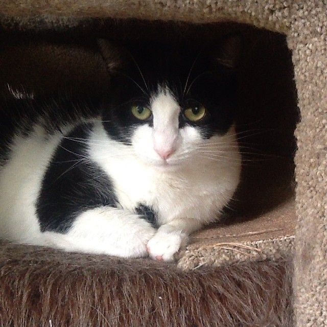 Friendly Black and White Domestic Short Hair ,Salvation #cat