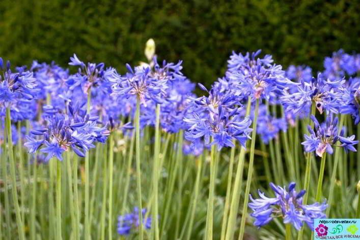На скудных горных склонах, а также вдоль южноафриканского побережья произрастает необычный цветок, который имеет несколько оригинальных названий: африканская лилия или абиссинская красавица.  В учебниках ботаники вы встретите его под именем агапантус, что в переводе с греческого языка означает «цветок» и «любовь». Такие затейливые названия абиссинская красавица получила благодаря своим прекрасным соцветиям лилово-голубого либо белого цвета.
