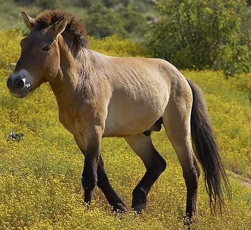 Przewalski's Horse - True Wild Mongolian Equine | Animal Pictures and Facts | FactZoo.com