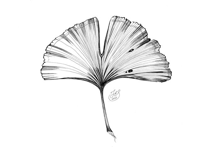 Image Result For Ginkgo Leaves Related