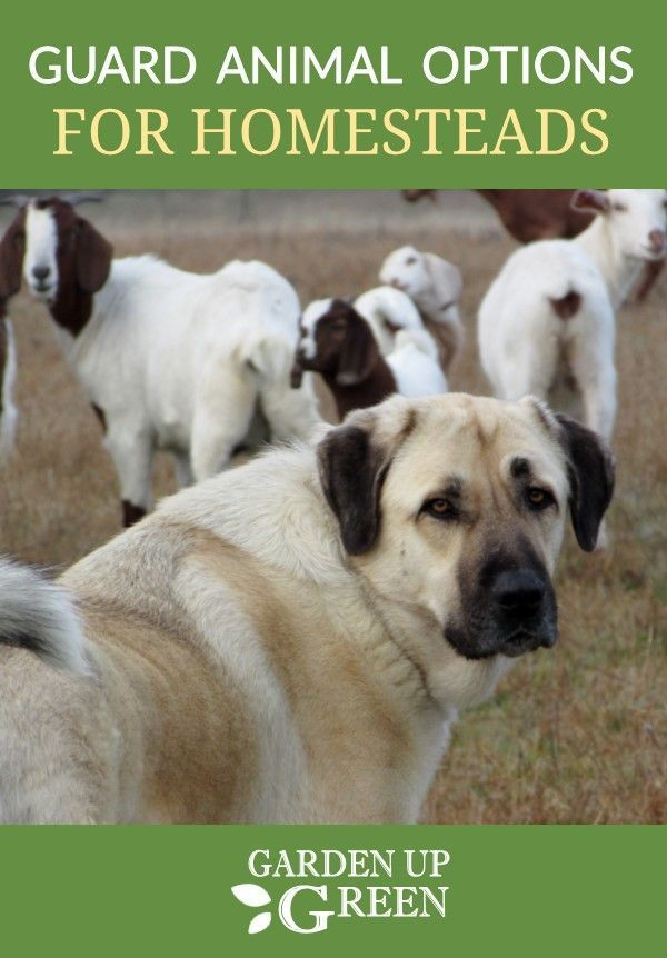 Homestead Series Choosing Guard Animals Goat Farming Backyard