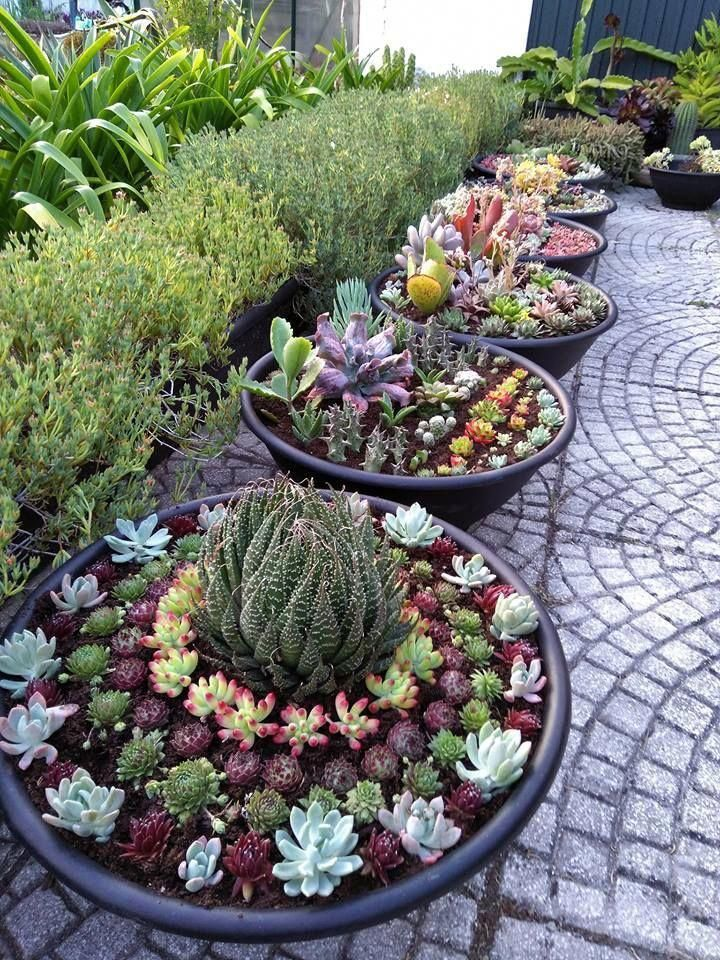 Potted Succulent Gardens Succulents Look Good Planted Together In Containers Containergarden Succulent Garden Diy Succulent Landscaping Succulent Gardening