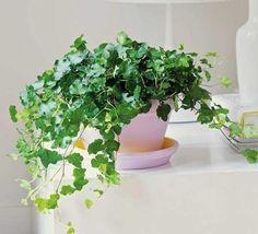 plantas de dormitorio - hiedra