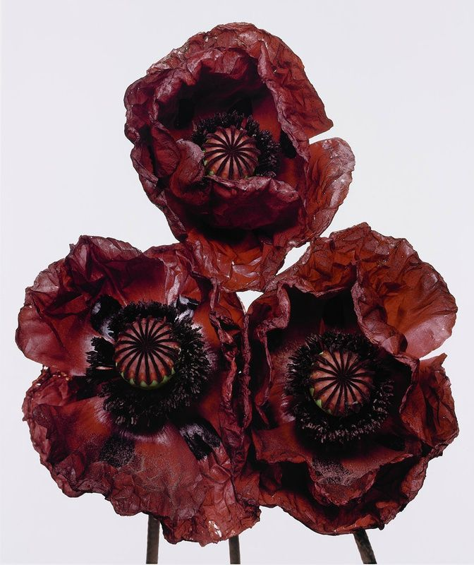 Irving Penn, Three Poppies 'Arab Chief', New York, 1969, 21 5/8 x 18 1/8 in. (54.9 x 46 cm.). Edition of 27 © Condé Nast Publications, Inc.