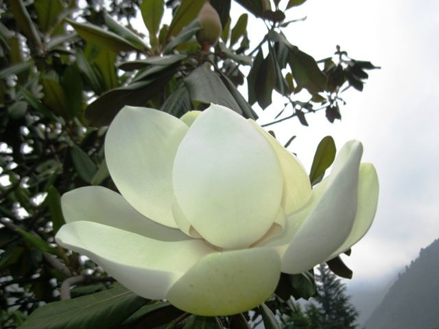 """dwindled and instead a new variety of flowering trees have come up whith a lotus like large fragrant white flowers identified as """"Magnolia Grandiflora"""". They are known as """"Him Champa"""" in Hindi. Visit page  View image"""