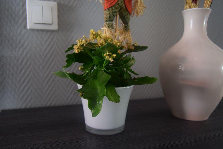 Żyworódka w szklanej doniczce. #hydrobox #hydroboxpl #kwiaty #kwiatydoniczkowe #home #decor #flowerpot #kwiat #flower #flowers #diy #ideas #doniczka